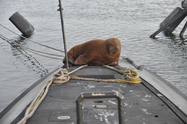 """荷兰""""海象级""""潜艇上来了不速之客"""